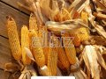 Продажа кукурузы от производителя.