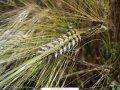 Продажа пшеницы от производителя
