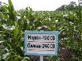 Кукуруза раннеспелые гибриды