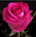 Роза импорт розовая