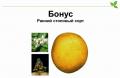 Бонус чипсовый сорт картофеля