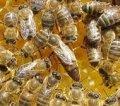 Пчеломатки, племенные матки Украинской Степной породы