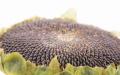 Калиброванная семечка подсолнечника от производителя