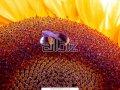 Ясон семена подсолнечника отечественной селекции