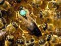 Пчеломатки, бджоломатки Карпатка