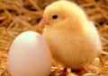 Цыплята Шевер