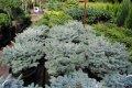 Ель  голубая подушковидная Глаука Глобоза (Picea pungens Glauca Globosa) 70-80 cм