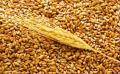 Пшеница-двуручка Шестопаловка