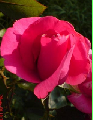 Roses pink and salmon