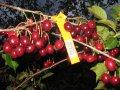 Саженцы вишни