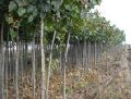 Planting stock of listopadny