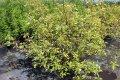 Дерен белый Ауреа (Cornus alba Aurea С 45)