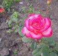 Роза - чайногибридная.