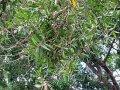 Эфирное масло кайепутового дерева