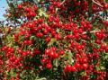 Плоды боярышника 100 г