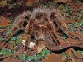 Акция!!! Паук Aphonopelma bicoloratum