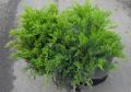 Можжевельник казацкий Tamariscifolia Co 10