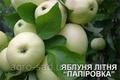 """Саженцы яблока сорт Папировка """"Белый налив"""