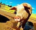 Корма и кормовые добавки для ВРХ и свиней