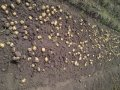 Картофель семенной ранние сорта Ривьера, Тирас, Эрроу, Гала