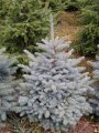 Ель голубая колючая  Глаука Блу Спрус (Picea pungens Glauca Blue Spruce) 1.4-1.6 м