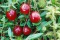 Cranberry-flavor food