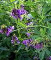 Семена люцерны сорт Анжеліка