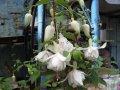 Семена белой фуксии