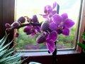 Семена фиолетовой ОРХИДЕИ