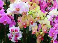Семена Орхидеи АКЦИЯ 20 СЕМЯН МИКС 27грн вместо 34грн