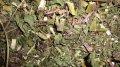 Эхинацея пурпурная, трава эхинацеи пурпурной, эхинацея пурпурной купить
