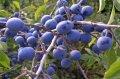 Плоды терновника сушеные, плоды терновника сушеные оптом, плоды терновника сушеные купить