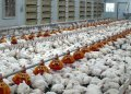 Equipment for poultry farms