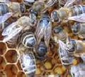 Bees, families bee