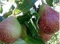Saplings of fruit-trees. Peach saplings.
