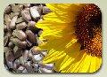 Семена подсолнечника, гибриды (F1)