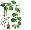 Дары Карпат , Лекарственные травы  Берёза лист Украина