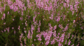 Вереск трава