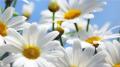 Цветы ромашки, оптом Украина, Львов