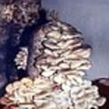 Мицелий Вешенки микоризообразующий AG1217 (п-во Польща)