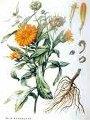 Семена календулы обычной