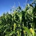 Семена кукурузы Криничанский СВ 257