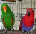 Попугаи, птенцы эклектуса