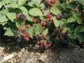 Blackberry saplings Thorne Fri