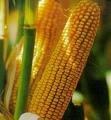 Семена кукурузы Оржица МВ 257