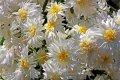 Хризантема на срез