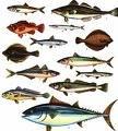 Рыба морская (лещ морской,бычок, тарань, вобла, пеленгасиус)
