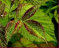 Лист малины, Культуры лекарственные