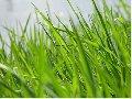 Семена травы. Люцерна UA, Райграс  газонний  UA