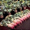 Семена свеклы кормовой Рекорд Поли